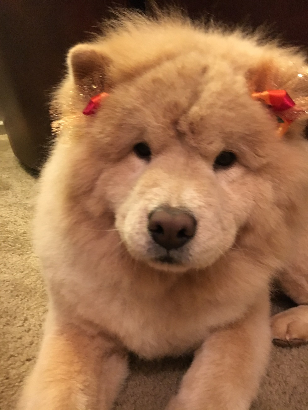 Vote for Audi | Chap's Chow Rescue and Chow-Chow Rescue of
