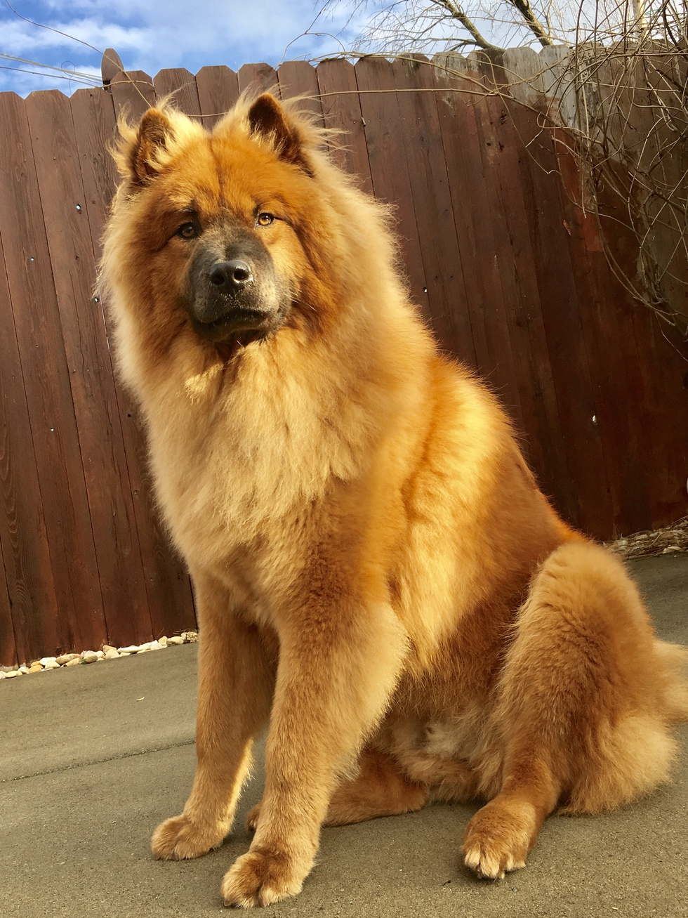 Vote for Oliver | Chap's Chow Rescue and Chow-Chow Rescue of