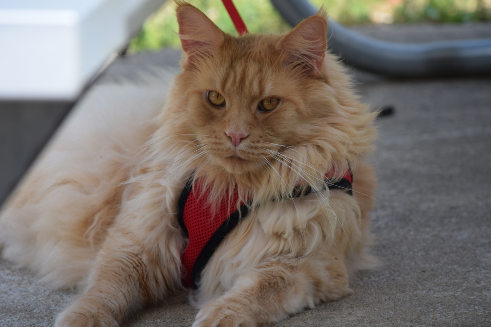 Vote for Mufasa | Maine Coon Rescue 2019 Fundraising