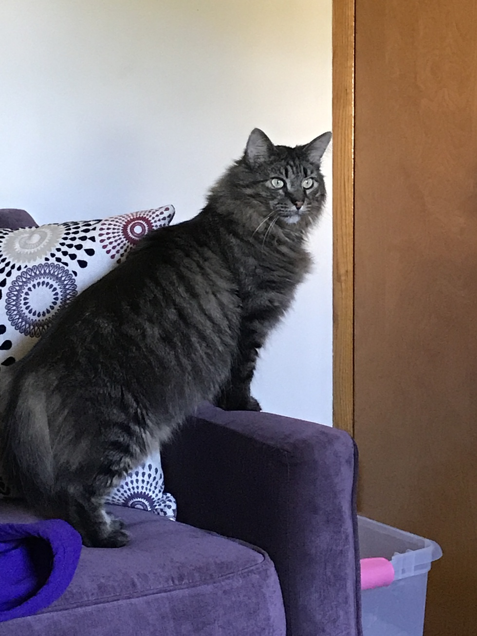 Vote for Tinker | Maine Coon Rescue 2019 Fundraising Calendar Photo