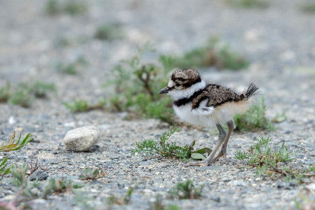 Baby Killdeer eyeing up a pebble