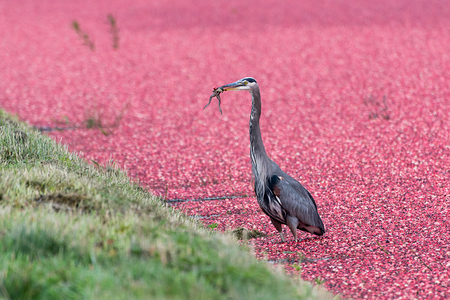 Heron in Cranberry Field