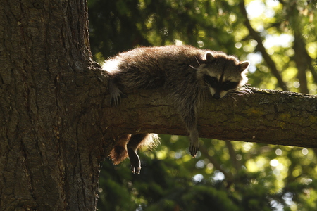 Lounging Raccoon
