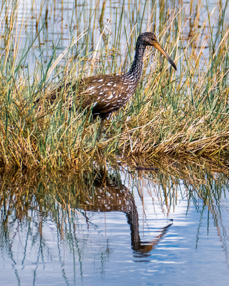 Limpkin looking for Apple Snails