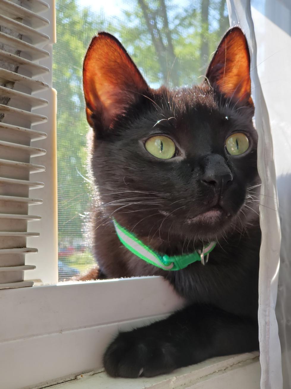 Vote for Binx   2021 Community of Cats Cat Calendar Contest