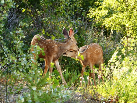 Fawns nuzzling in the garden