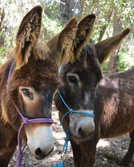 Donkey Rescues: Daughter Rambo Reba  & Momma Arna